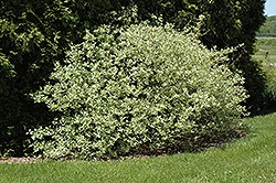 Silver and Gold Dogwood (Cornus sericea 'Silver and Gold') at Chalet Nursery