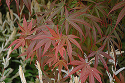 Dwarf Red Pygmy Japanese Maple (Acer palmatum 'Red Pygmy') at Chalet Nursery