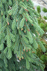 Weeping White Spruce (Picea glauca 'Pendula') at Chalet Nursery