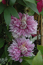 Josephine Clematis (Clematis 'Josephine') at Chalet Nursery