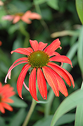 Tomato Soup Coneflower (Echinacea 'Tomato Soup') at Chalet Nursery
