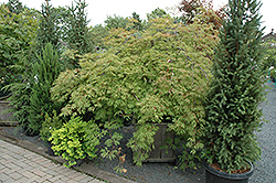 Green Cascade Maple (Acer japonicum 'Green Cascade') at Chalet Nursery