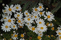 Comet White Marguerite Daisy (Argyranthemum frutescens 'Comet White') at Chalet Nursery