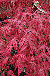 Shirazz Japanese Maple (Acer palmatum 'Gwen's Rose Delight') at Chalet Nursery