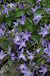 Serbian Bellflower (Campanula poscharskyana) at Chalet Nursery
