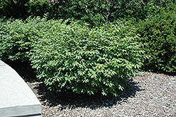 Fire Ball® Burning Bush (Euonymus alatus 'Select') at Chalet Nursery