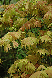 Moonrise Full Moon Maple (Acer shirasawanum 'Moonrise') at Chalet Nursery