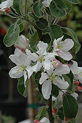 Granny Smith Apple (Malus 'Granny Smith') at Chalet Nursery