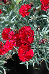 Fire Star Pinks (Dianthus 'Devon Xera') at Chalet Nursery