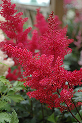 Montgomery Japanese Astilbe (Astilbe japonica 'Montgomery') at Chalet Nursery