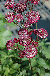 Star Of Fire Masterwort (Astrantia major 'Star Of Fire') at Chalet Nursery
