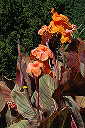 Tropicanna Canna (Canna 'Tropicanna') at Chalet Nursery