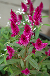 Intenz Celosia (Celosia 'Intenz') at Chalet Nursery