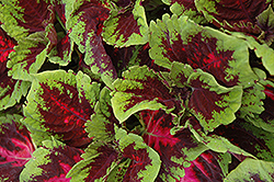 Kong Red Coleus (Solenostemon scutellarioides 'Kong Red') at Chalet Nursery