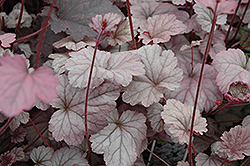 Stainless Steel Coral Bells (Heuchera 'Stainless Steel') at Chalet Nursery