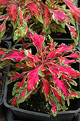 Pink Chaos Coleus (Solenostemon scutellarioides 'Pink Chaos') at Chalet Nursery