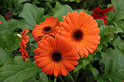 Orange Gerbera Daisy (Gerbera 'Orange') at Chalet Nursery