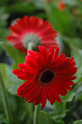 Red Gerbera Daisy (Gerbera 'Red') at Chalet Nursery