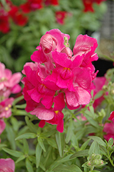 Snapshot Purple Snapdragon (Antirrhinum majus 'Snapshot Purple') at Chalet Nursery