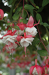 Swingtime Fuchsia (Fuchsia 'Swingtime') at Chalet Nursery