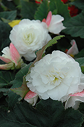 Nonstop® Appleblossom Begonia (Begonia 'Nonstop Appleblossom') at Chalet Nursery