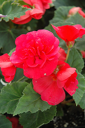 Nonstop® Rose Pink Begonia (Begonia 'Nonstop Rose Pink') at Chalet Nursery