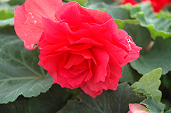 Nonstop® Bright Red Begonia (Begonia 'Nonstop Bright Red') at Chalet Nursery