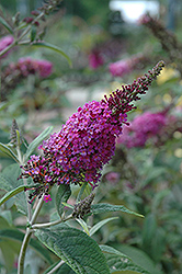 Miss Ruby Butterfly Bush (Buddleia davidii 'Miss Ruby') at Chalet Nursery