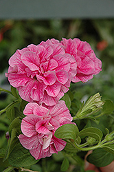 Double Wave Pink Petunia (Petunia 'Double Wave Pink') at Chalet Nursery