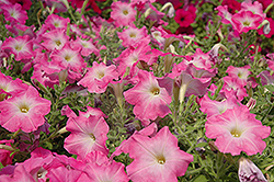 Easy Wave Pink Dawn Petunia (Petunia 'Easy Wave Pink Dawn') at Chalet Nursery