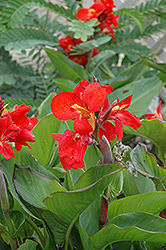 Tropical Red Canna (Canna 'Tropical Red') at Chalet Nursery