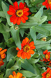Profusion Fire Zinnia (Zinnia 'Profusion Fire') at Chalet Nursery