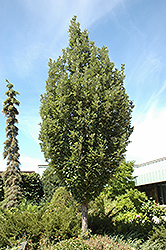 Crimson Spire Oak (Quercus 'Crimson Spire') at Chalet Nursery