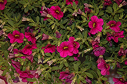 Million Bells® Cherry Pink Calibrachoa (Calibrachoa 'Million Bells Cherry Pink') at Chalet Nursery