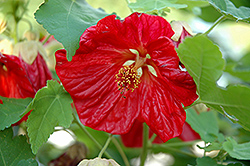 Bella Red Flowering Maple (Abutilon 'Bella Red') at Chalet Nursery