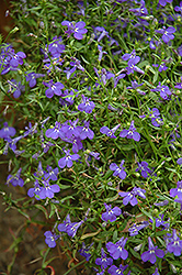 Techno® Heat Blue Lobelia (Lobelia erinus 'Techno Heat Blue') at Chalet Nursery