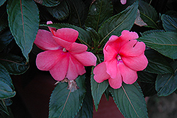 Sonic® Salmon New Guinea Impatiens (Impatiens 'Sonic Salmon') at Chalet Nursery