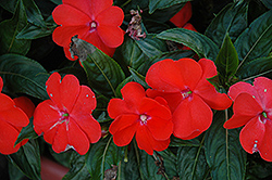 Harmony Orange Blaze New Guinea Impatiens (Impatiens hawkeri 'Harmony Orange Blaze') at Chalet Nursery