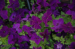 Pretty Grand Midnight Petunia (Petunia 'Pretty Grand Midnight') at Chalet Nursery