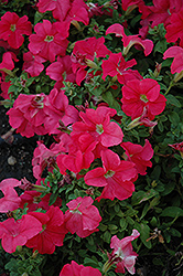 Pretty Grand Coral Petunia (Petunia 'Pretty Grand Coral') at Chalet Nursery