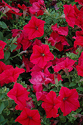 Pretty Grand Red Petunia (Petunia 'Pretty Grand Red') at Chalet Nursery