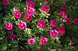 Superbells® Cherry Red Calibrachoa (Calibrachoa 'Superbells Cherry Red') at Chalet Nursery
