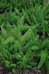 Myers Foxtail Fern (Asparagus densiflorus 'Myers') at Chalet Nursery