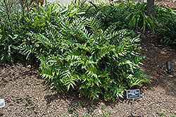 Japanese Holly Fern (Cyrtomium falcatum) at Chalet Nursery