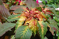 Illumination Amaranthus (Amaranthus 'Illumination') at Chalet Nursery