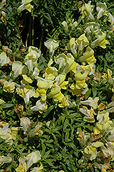 Trailing Snapshot Yellow Snapdragon (Antirrhinum majus 'Trailing Snapshot Yellow') at Chalet Nursery