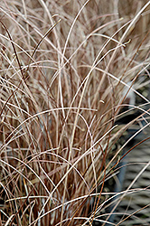 Leatherleaf Sedge (Carex buchananii) at Chalet Nursery