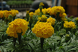 Safari Yellow Marigold (Tagetes patula 'Safari Yellow') at Chalet Nursery