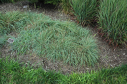 Blue Sedge (Carex glauca) at Chalet Nursery