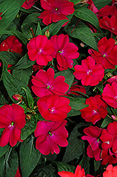 SunPatiens® Compact Royal Magenta New Guinea Impatiens (Impatiens 'SunPatiens Compact Royal Magenta') at Chalet Nursery